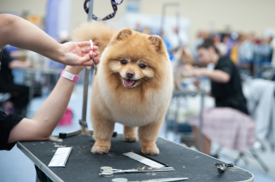 Pomeranian Spitz at the Dog Show, grooming on the table