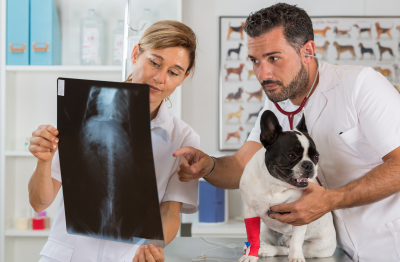 Couple of veterinary reviewing the results of an x-ray of a French bulldog