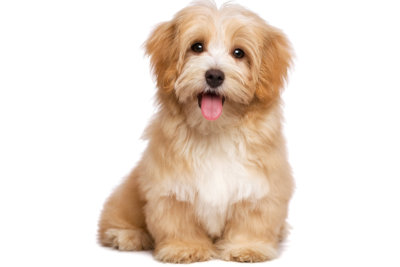 Beautiful happy reddish havanese puppy dog