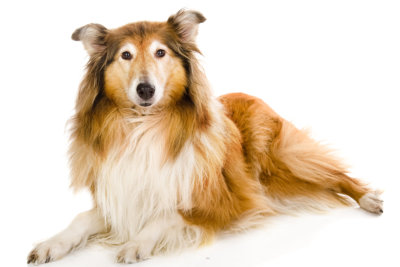 Rough collie - Scottish shepherd (lassie)