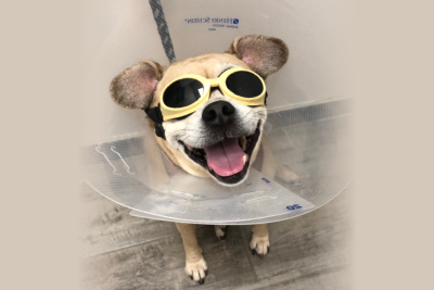 dog wearing eye protection for laser therapy