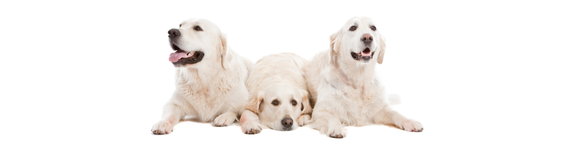 Three golden retriever dogs lying together on white background