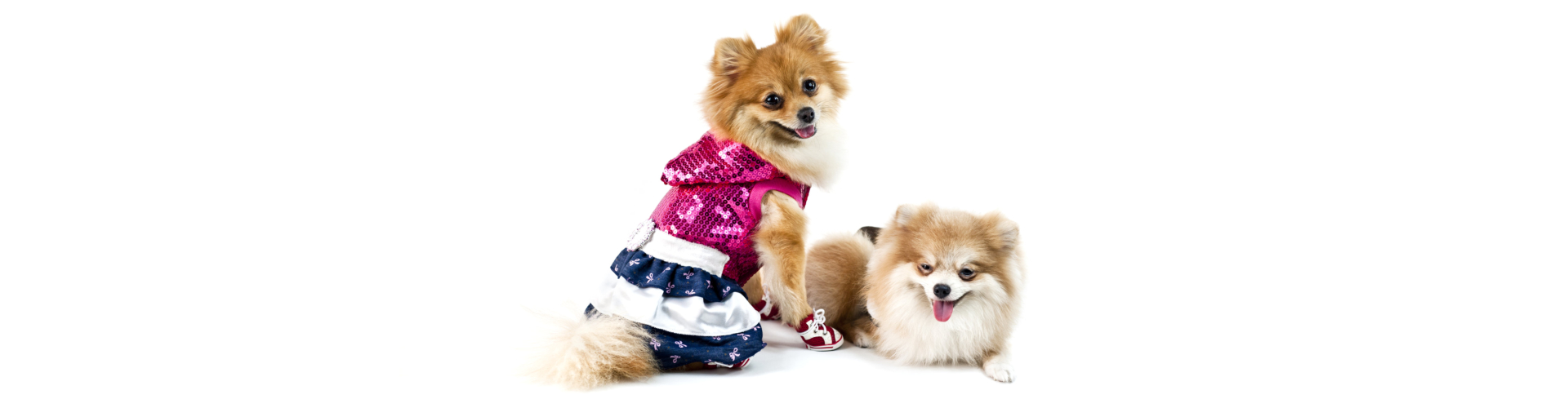 The two cute Pomeranian dog over white one dressed up