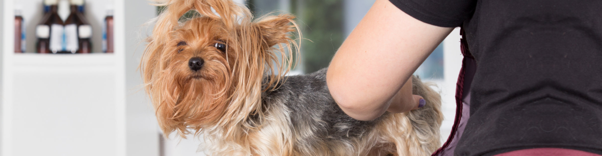 Yorkshire terrier dog on a hairstyle in a grooming salon