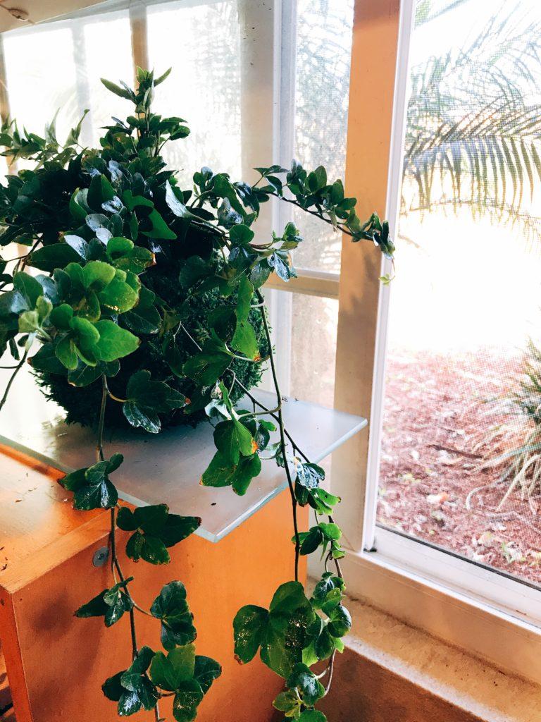 Large hanging Ivy