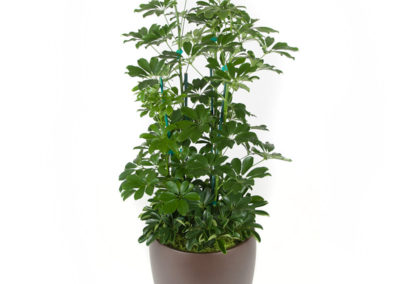Schefflera Arboricola Column