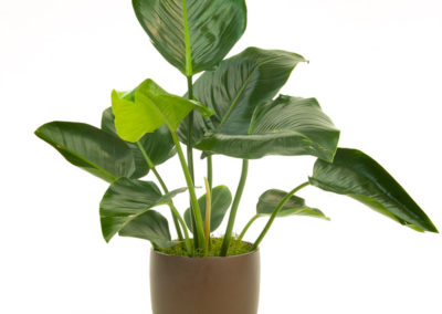 Philodendron Congo