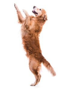 walk the dog, dog jumps, az dog sports, dog trainer tips