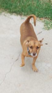 justice, pets for adoption, az dog smart, dog training