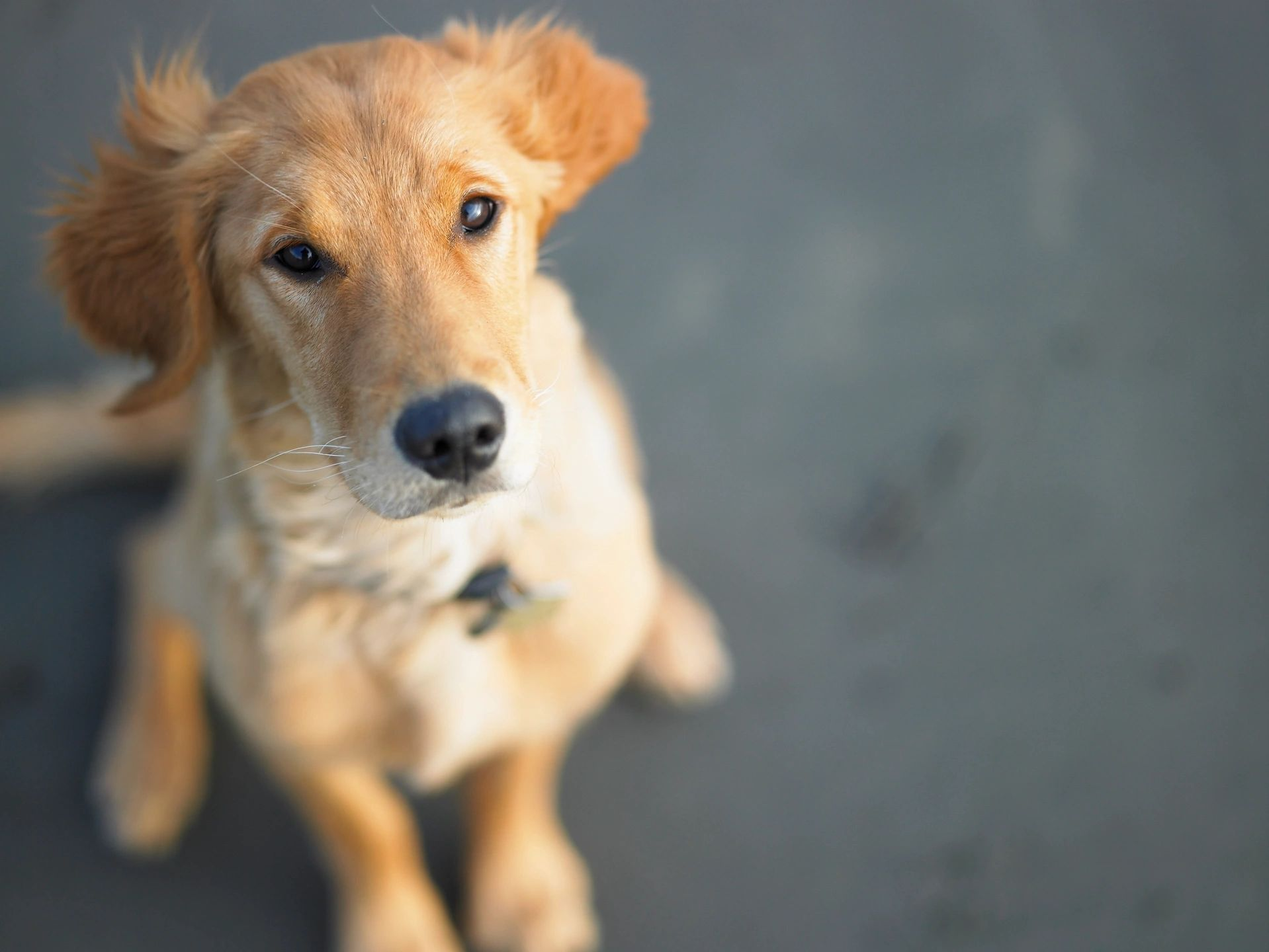 Why Do I Need a Professional Dog Trainer Designation to Train Dogs?