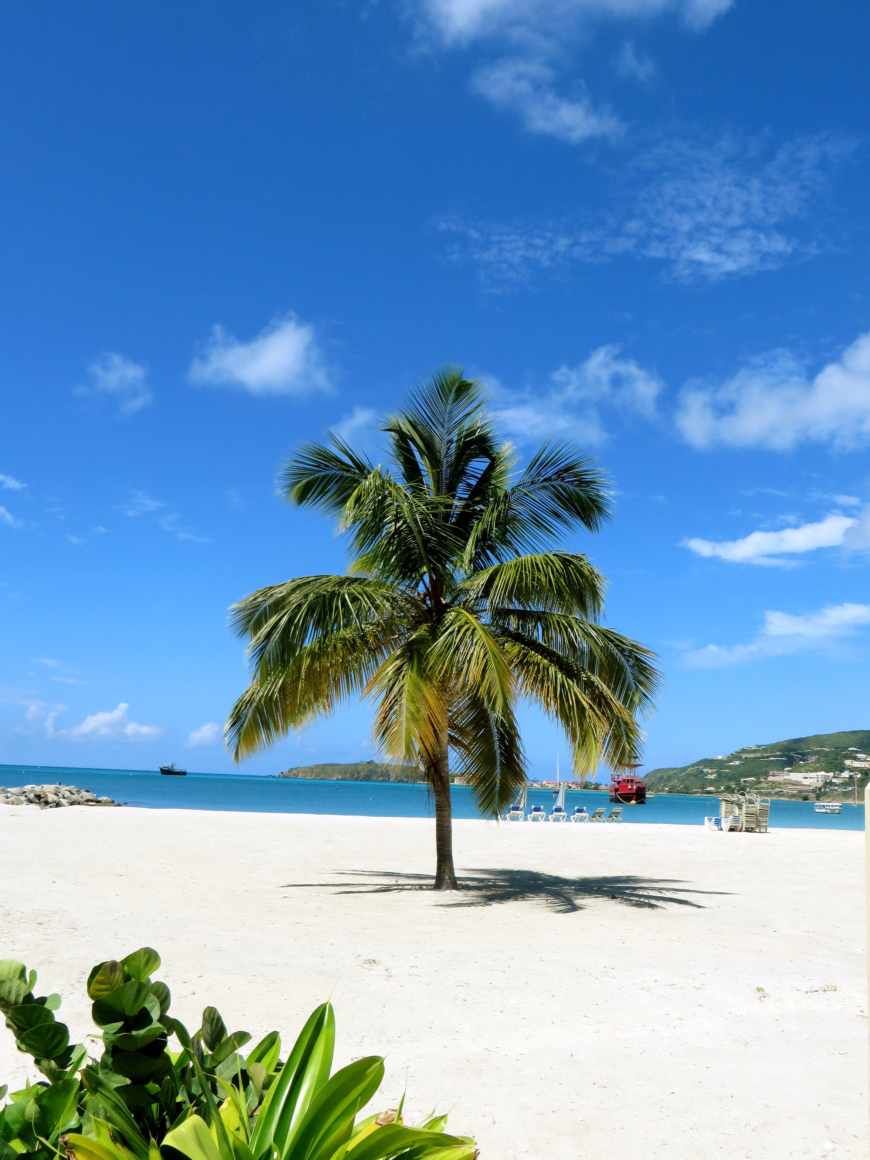 Lone Palm Tree, Philipsburg, St. Maarten