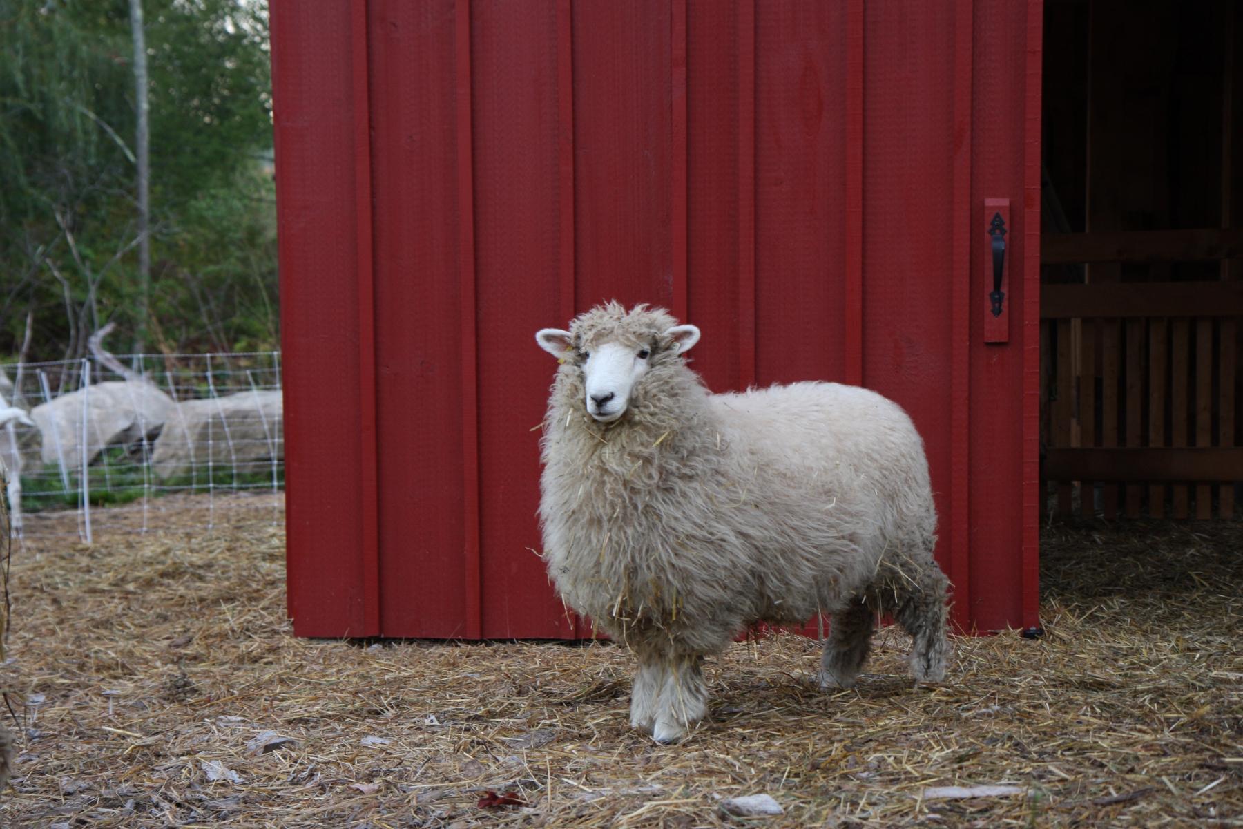 Annabel as lamb