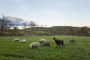 Llama and brood ewes