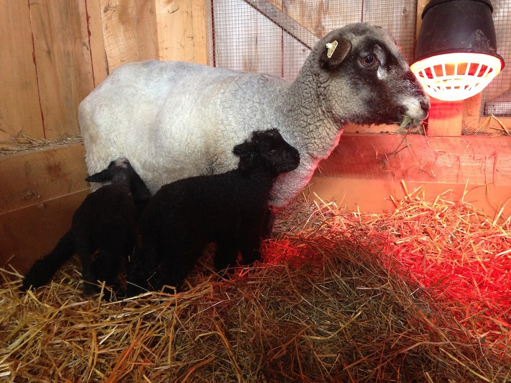 Maggie and her just-born lambs