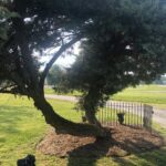 This graceful tree welcomes our visitors