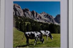 white frame cow