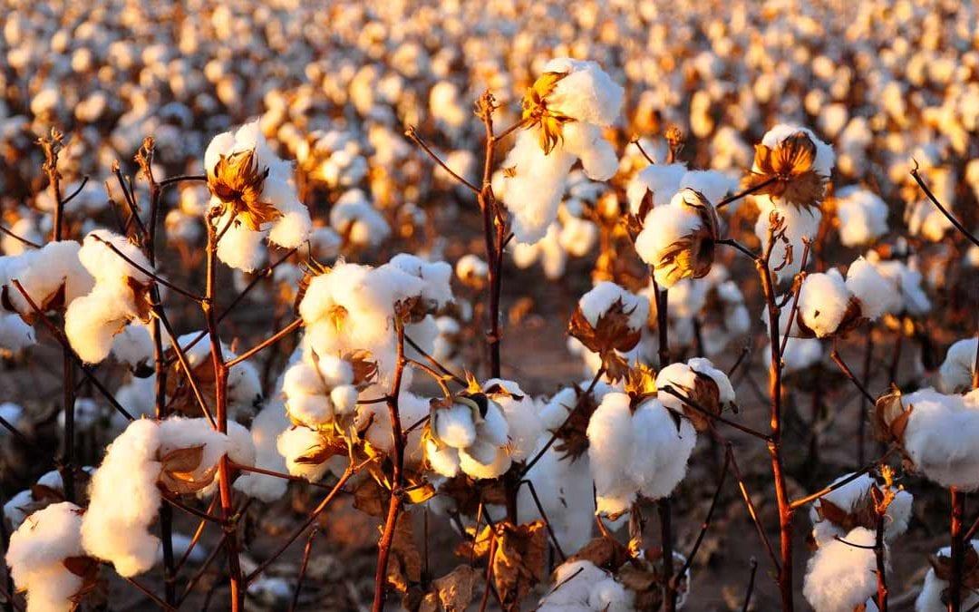 Oni-Earth-Kind-Fabrics_Cotton_field-Blog06.17.17
