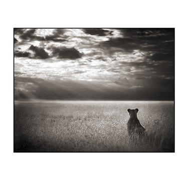 Lioness Looking Out Over Plains, Nick Brandt, #2 of 3