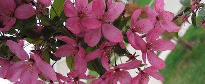 Malus en floraison