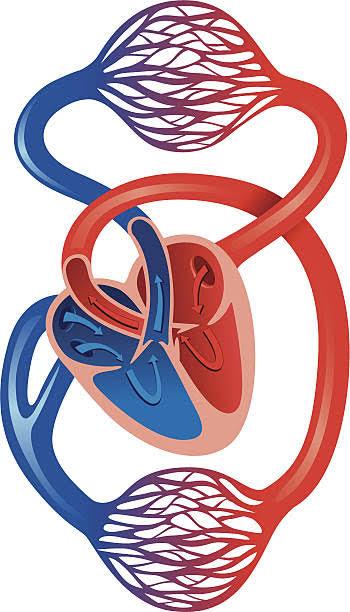 Schéma - Système cardiovasculaire humain