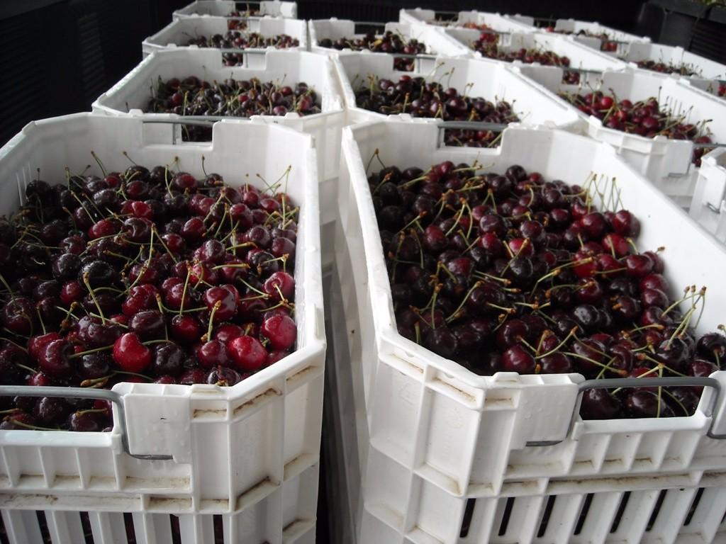 14. cherries small