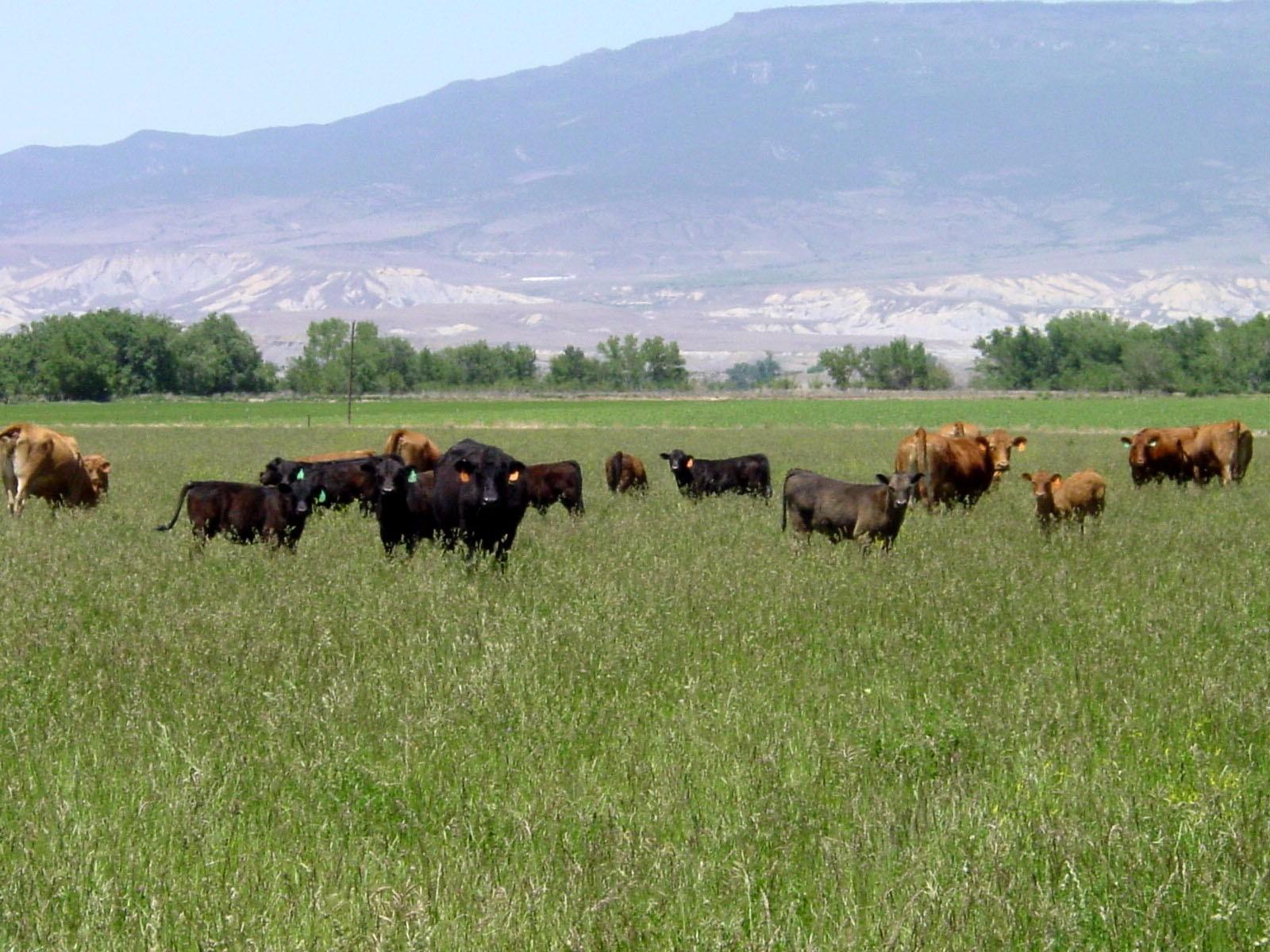 cows big field