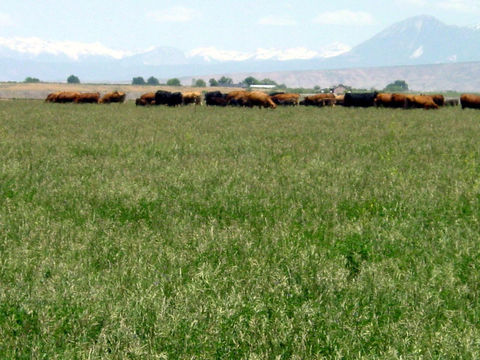cows west elks