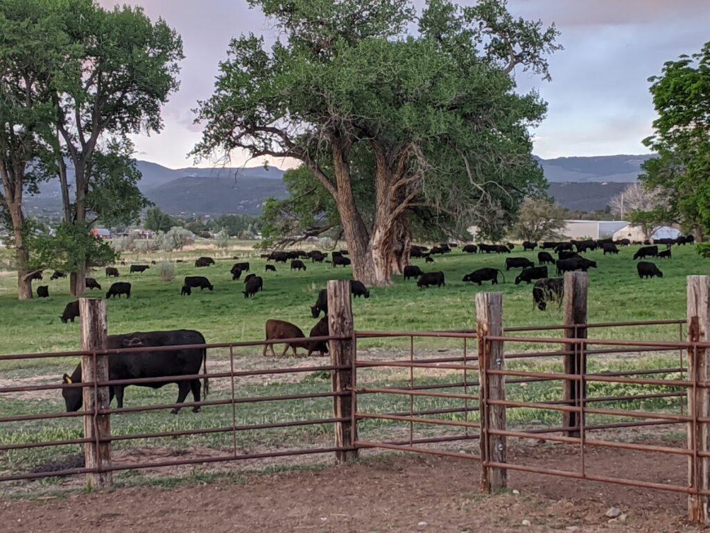matt j cows 3