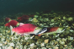 Protect B.C. Salmon — Sign The Petition!