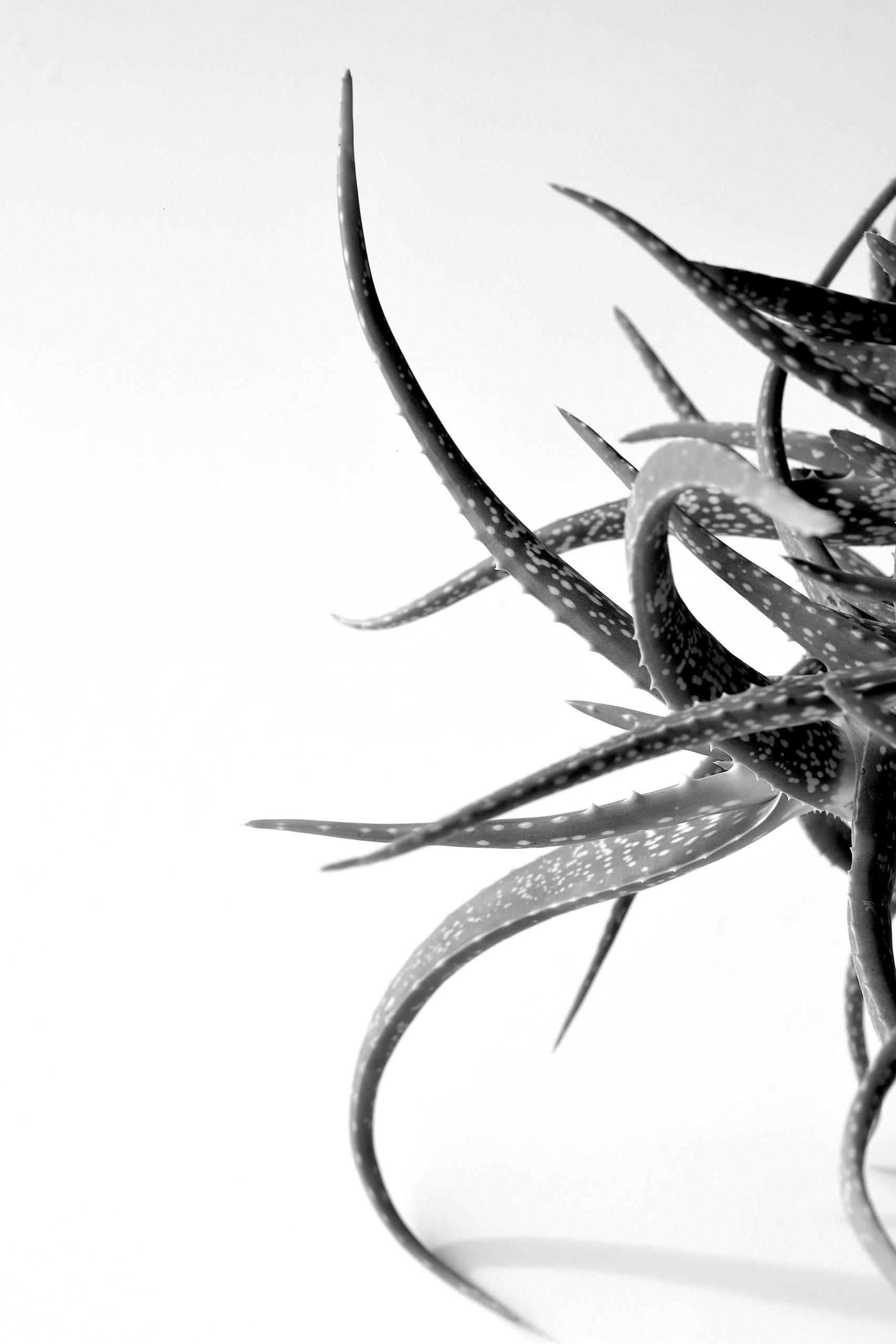 Aloe Vera by Jonathan Brooks
