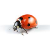 Asian Lady Beetle