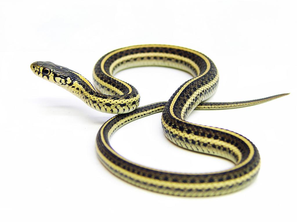 Snake - Madison