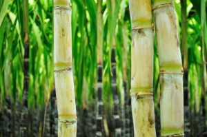 MSG from sugar cane plant