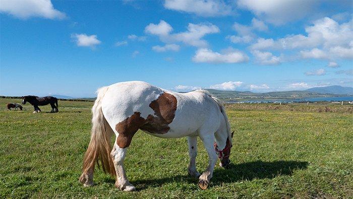 Horses at the Kerry Cliffs