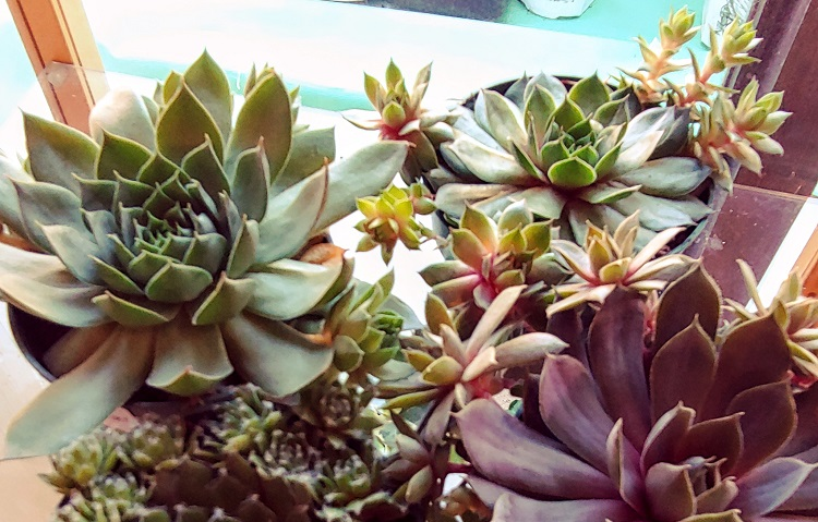 Houseplants Succulents Hens and Chicks