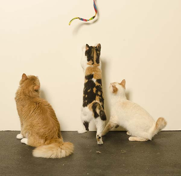 Three cats looking at a Cat dancer toy.