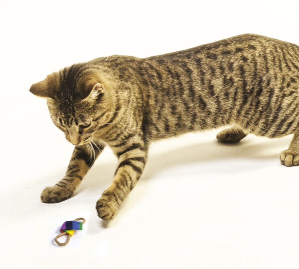 Cat Playing With Bow Tie cat toy.