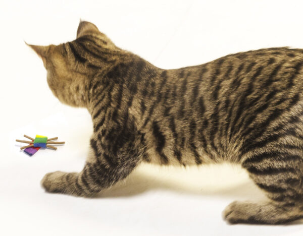 Cat Playing with a Cat Dancer Whisker Chaser cat toy.