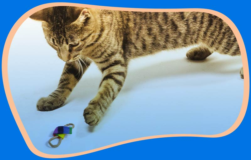 Cat playing with a Bow Tie Chaser toy.