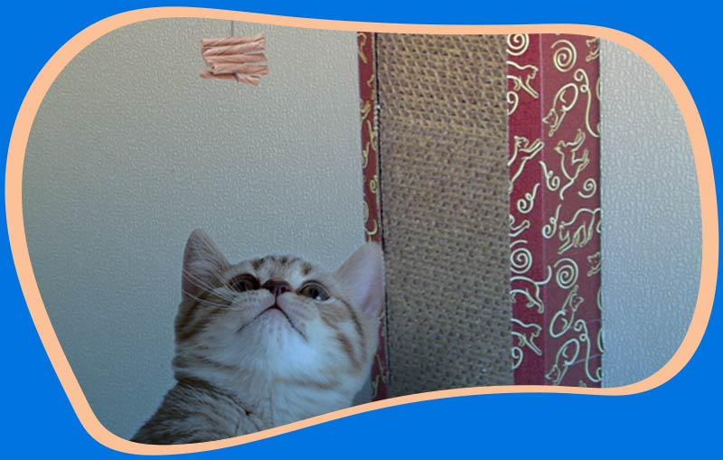 Kitten with Cat Dancer Wall Scratcher and interactive cat toy.