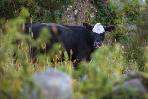 pastured beef, pasture-raised beef