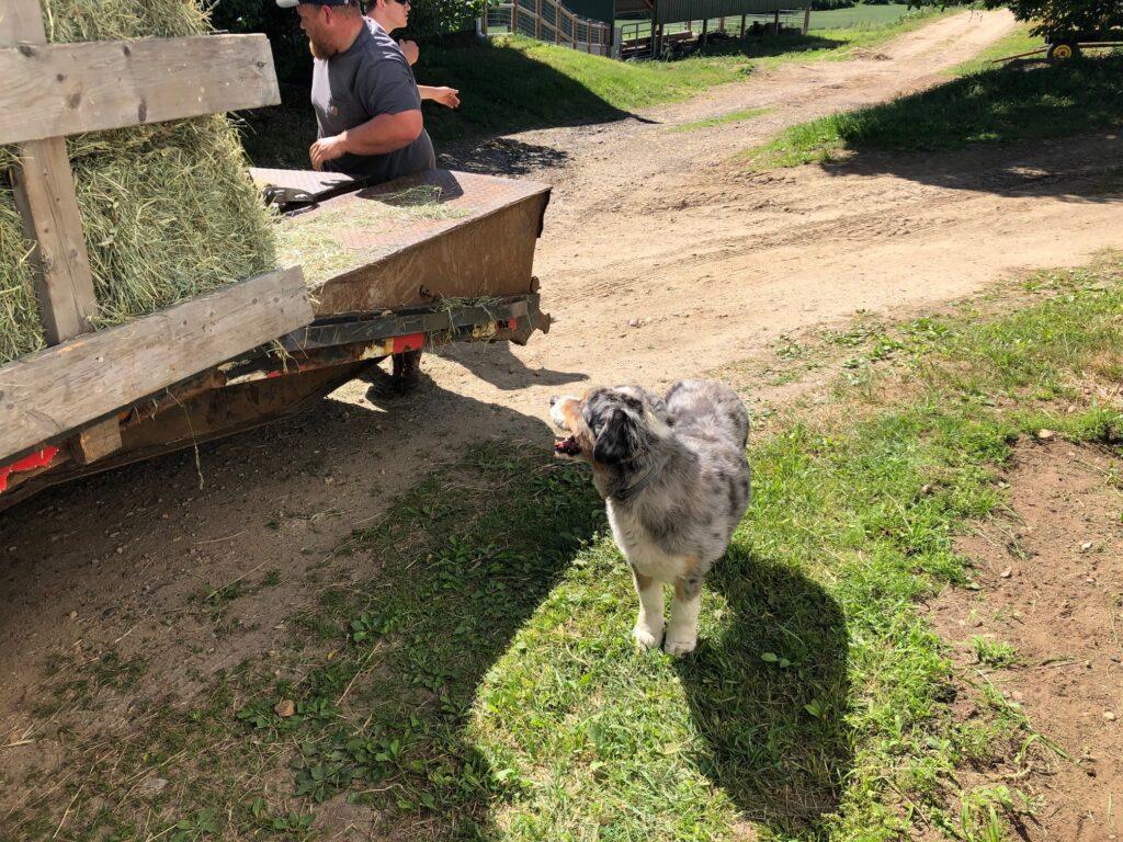 Ted the Clover HIll Farm Dog