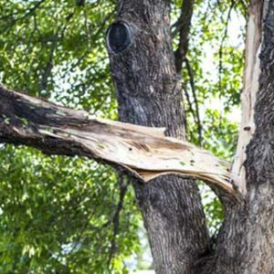 crown restoration pruning
