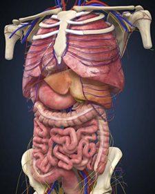 3D Graphic of Internal Organs
