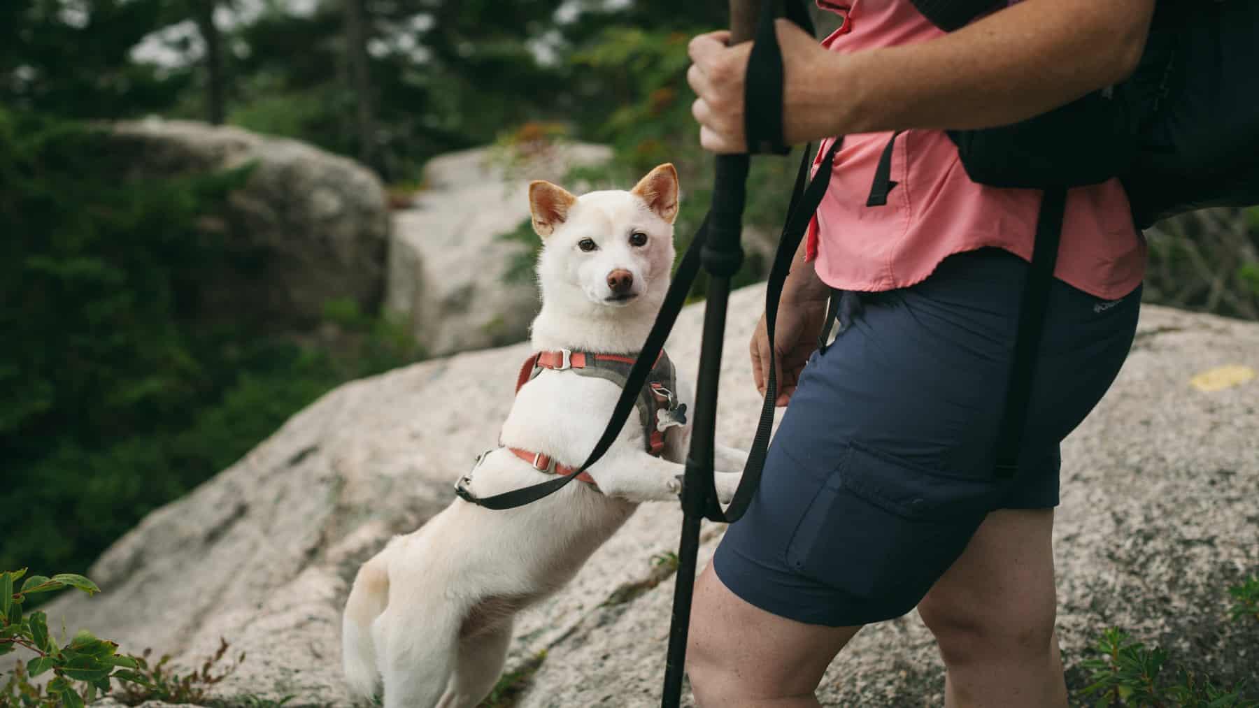 Hiking dog on the top of Hedgehog Mountain