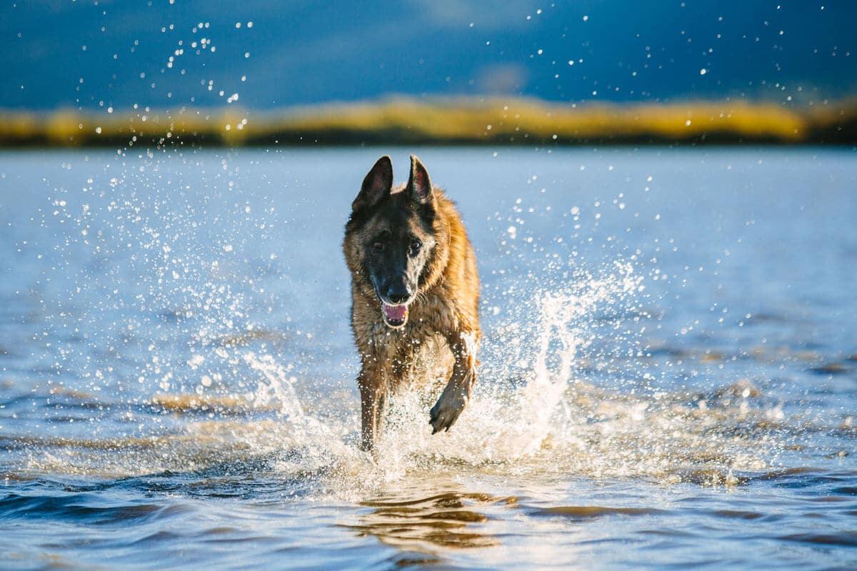 Dog running in the water - Tahoe Best Friends