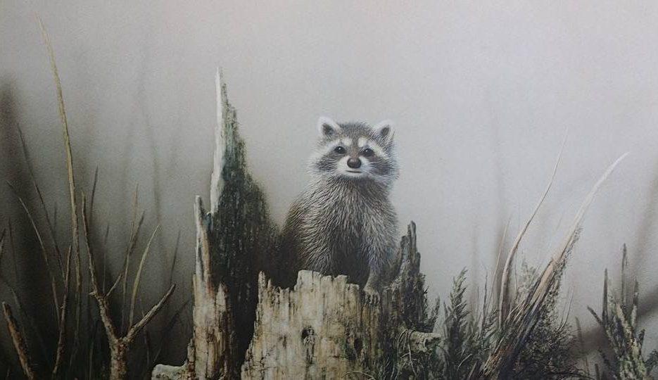 Raccoon 001