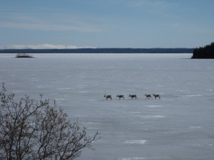 Caribou crossing lake