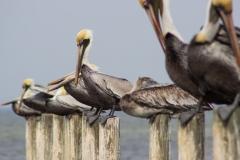 Pelicans 3-5-15-15