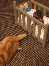 Kitten 'Magnolia''s new pal, Spencer, wants to play during naptime. (N.C.)